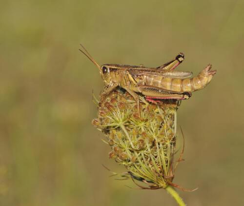 Red Legged Grasshopper 7 7.5 8 22.5 Heather Engel  Nature Master