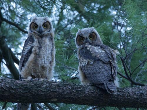 Great Horn Owlets 7.5 7.5 6.5 21.5 Ewa Rakowski  Nature Silver