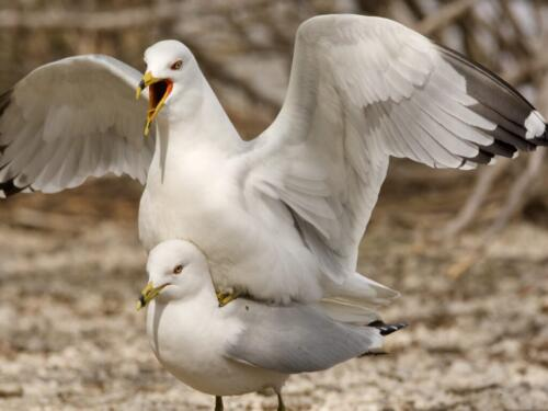 Ring-Billed Gulls 7.5 7.5 7.5 22.5 SPP Ewa Rakowski  Nature Silver