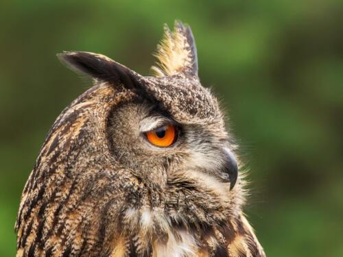 Eurasian Eagle Owl 7.5 7.5 7.5 22.5 Terry Ross-Poulton  Nature Gold