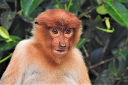 Female Proboscis Monkey 6.5 6.5 6 19 Barbara Boles-Davis  Nature Gold