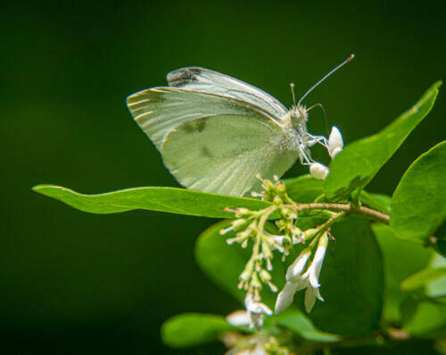Cabbage White Butterfly 6.5 6.5 6 19 John Strung  Nature Gold