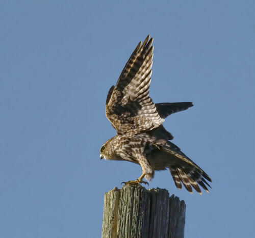 Merlin 7 7 7 21 Colleen Bird  Nature Gold