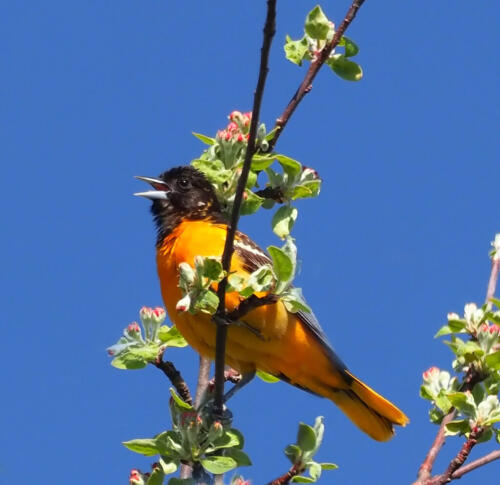 Oriole In Apple Tree 6.5 7 6.5 20 Colleen Bird  Nature Gold