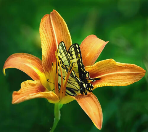 Yellow Swallowtail In Lily 7 7.5 6.5 21 Colleen Bird  Nature Gold