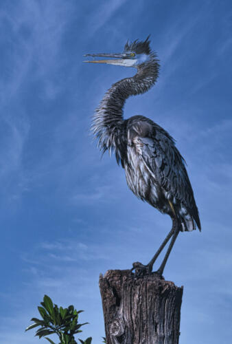 Great Blue Heron-2 8 7.5 8.5 24 HM GPP Herb McClelland  Nature Gold