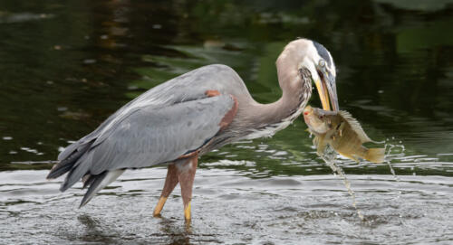 Great Blue Heron With Fish 7.5 7.5 7.5 22.5 Herb McClelland  Nature Gold