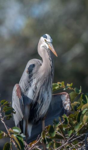 Great Blue Heron 7.5 7.5 7.5 22.5 Herb McClelland  Nature Gold