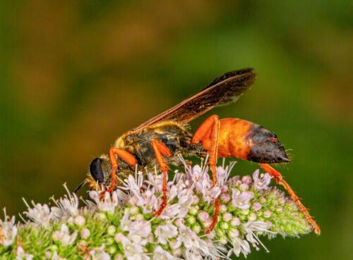 Golden Digger Wasp 6 6.5 7.5 20 Geoff Dunn  Nature Gold