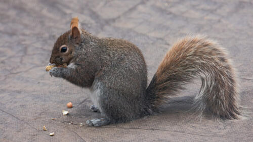 Gray Squirrel 6.5 7 7.5 21 Terry Ross-Poulton  Pictorial Gold