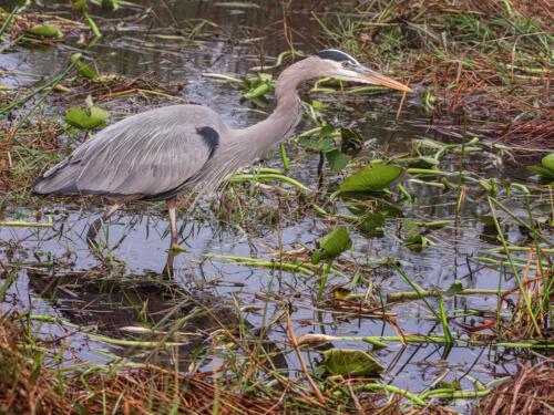 Great Blue Heron In Habitat 7 7.5 7.5 22 Don Poulton  Nature Master
