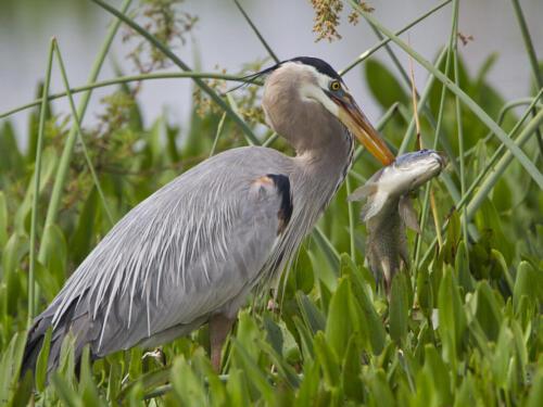 Great Blue Heron- Big Fish 7.5 7.5 8.5 23.5 David Seldon  Nature Master