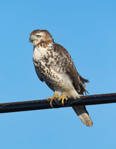Red-Tailed Hawk 7 7.5 7 21.5 Geoffrey Skirrow  Nature Gold