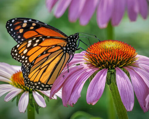 Monarch Butterfly 6.5 7.5 9 23 Kathryn Martin  Nature Master