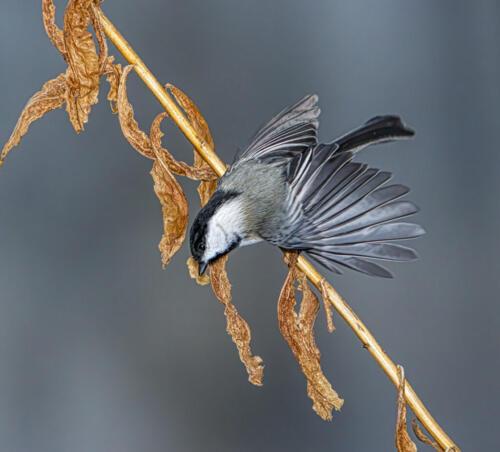 Chickadee2 7.5 7 6.5 21 Gary Love  Nature Master