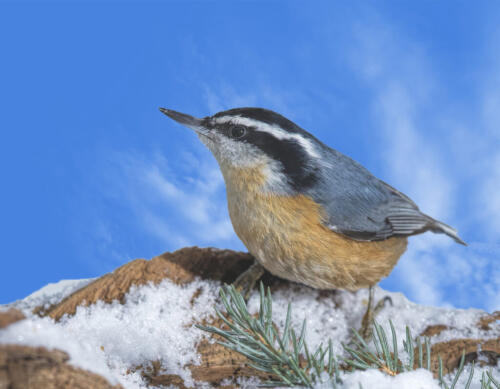 Red Breasted Nuthatch 8 8 6.5 22.5 Gary Love  Nature Master