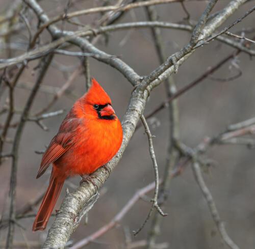 Male Northern Cardinal 7.5 7.5 9.5 24.5 HM DP Bertin Francoeur  Nature Master