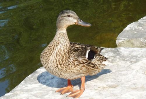 Female Mallard Duck 6.5 7 6.5 20 Roy Oldfield  Nature Gold