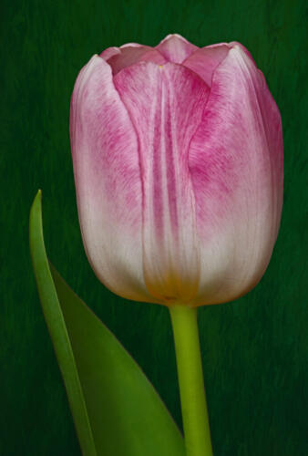 Pink Tulip 7 7.5 8.5 23 GPP Terry Ross-Poulton  Pictorial Gold