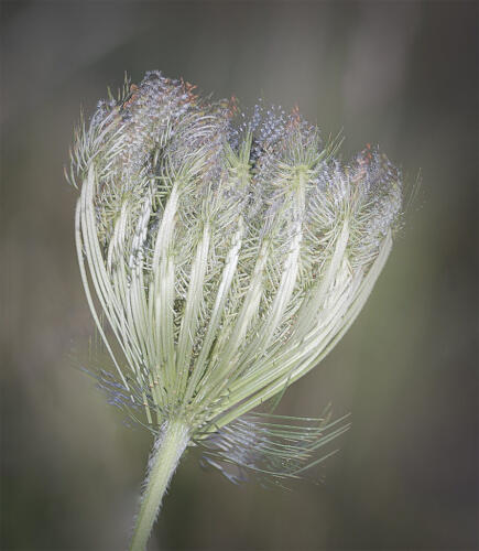 Queen Anne's Lace 6.5 7 6.5 20 Judy Boufford  Creative Gold