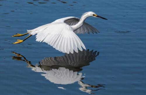 Snowy Egret In Flight 7.5 8 7.5 23 GPP Herb McClelland  Nature Gold