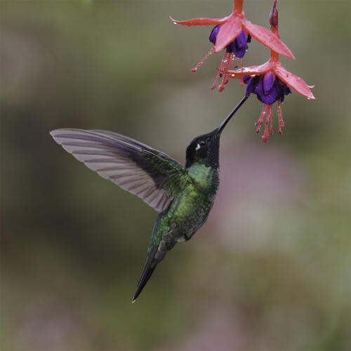 Talamanca Hummingbird 8.5 9.5 9 27 TC GPP Judy Boufford  Nature Gold