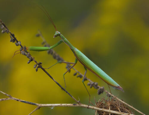 Praying Mantis 7.5 7.5 8.5 23.5 HM GPP Ed Espin  Nature Gold