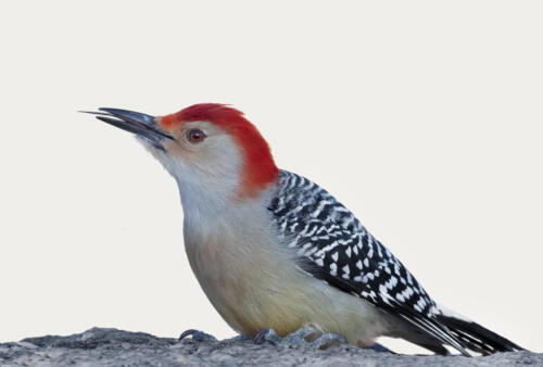Red Bellied Woodpecker Tongue 7 7.5 9 23.5 HM GPP Greg Alderson  Nature Gold