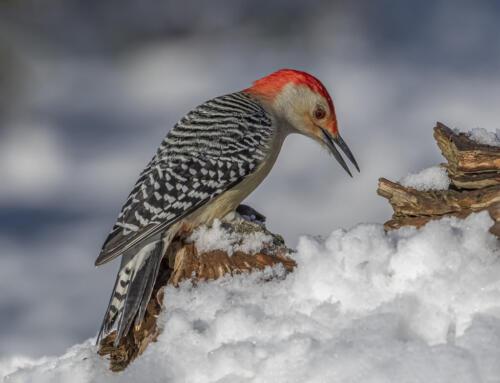Red Bellied Woodpecker In Snow 8 9 9 26 TC GPP Greg Alderson  Nature Gold