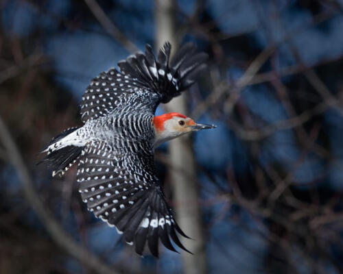 Red Bellied Woodpecker 7.5 6.5 8.5 22.5 SPP Carey Hope  Nature Silver