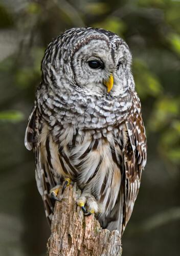 Barred Owl 8 8 7 23 Greg Alderson  Nature Master
