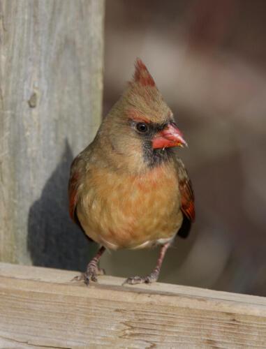Northern Cardinal (Female) 7 7 6.5 20.5 Ewa Rakowski  Pictorial Silver