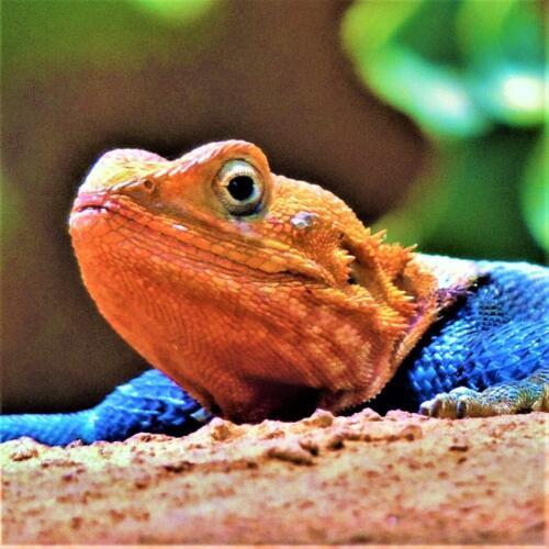 Agama Lizard  Nature Gold
