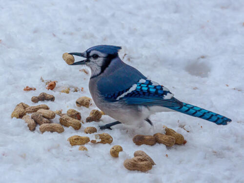 Blue Jay Feeding 7.5 7 7.5 22 Terry Ross-Poulton  Pictorial Gold