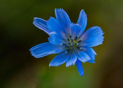 Chicory 8 7 7.5 22.5 Doug Doede  Nature Master
