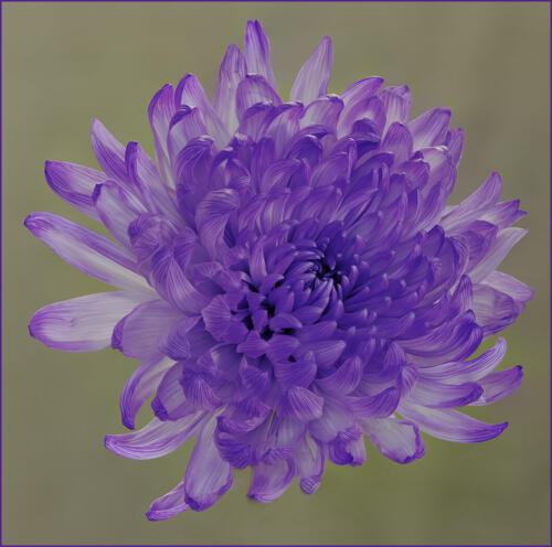 Chrysanthemum 8 7.5 7.5 23 GPP Judy Boufford  Pictorial Gold