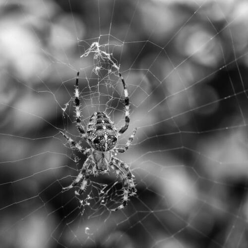 Cross Spider 8.5 7.5 7.5 23.5 Bertin Francoeur  Nature Master