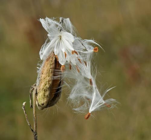 Milkweed Pod 8 8 8 24 DP Heather Engel  Nature Master