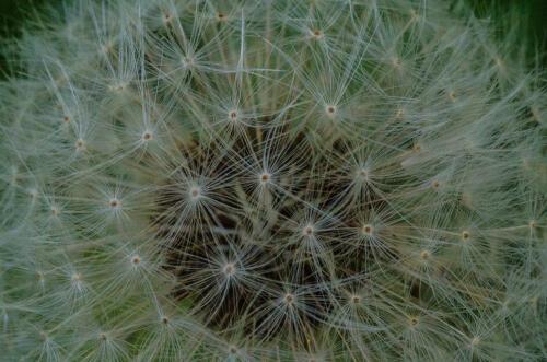 Dandelion 7 7 7 21 Doug Doede  Nature Master