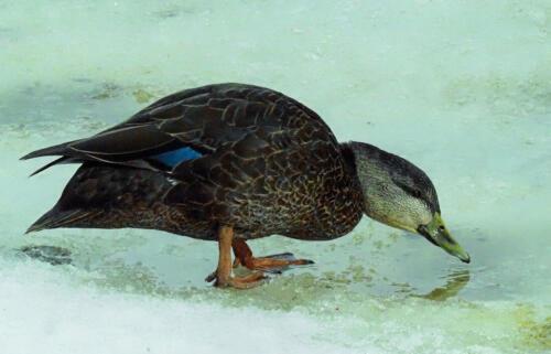 Black Duck 6 6 6 18 Colleen Bird  Nature Gold