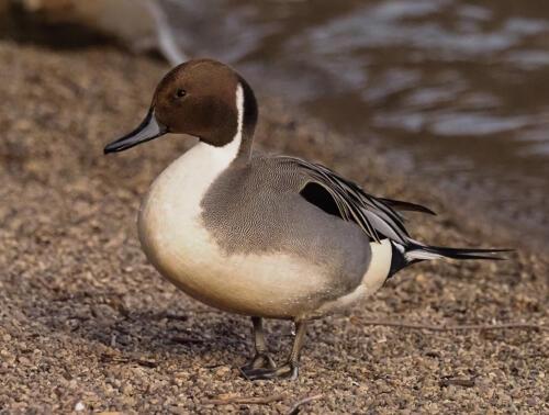Long Tailed Duck 7.5 8 7.5 23 GPP Colleen Bird  Nature Gold