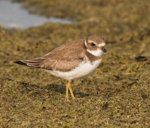 Semipalmated Plover 8 8.5 8 24.5 HM GPP Colleen Bird  Nature Gold