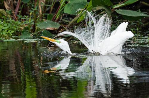 Great Egret In Breeding Plumage  7 6.5 6 19.5 Herb McClelland  Nature Gold