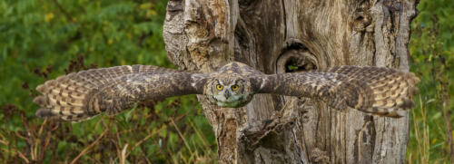 Great Horned Owl In Flight 8.5 8 7 23.5 GPP Andy Langs  Nature Gold
