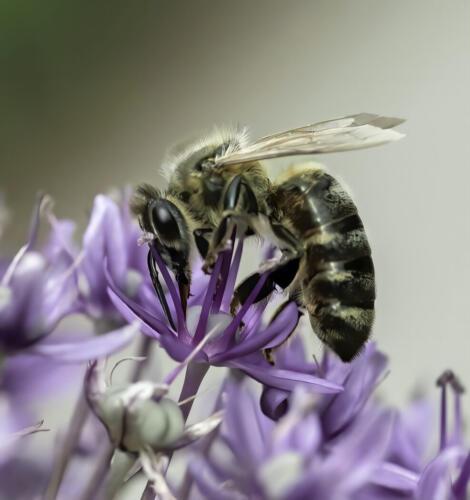 Honeybee On Salvia 7 8 6 21 Jim Maguire  Nature Gold