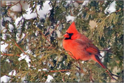 Northern Cardinal  Nature Gold
