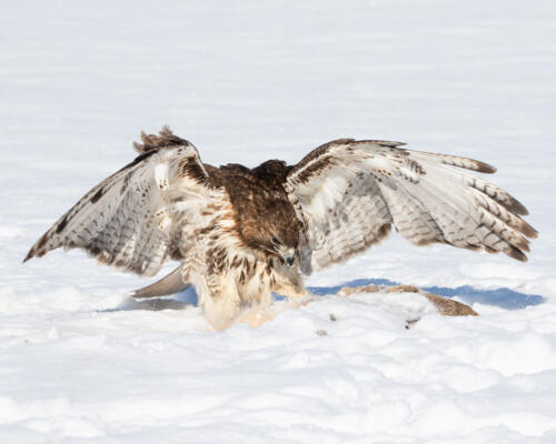Red-Tailed Hawk With Prey 7.5 9 8 24.5 HM GPP Geoffrey Skirrow  Nature Gold