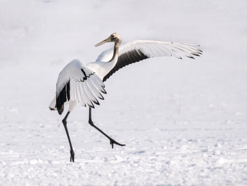 Young Red-Crowned Crane Dancing 8 7.5 7.5 23 GPP Peter Chow  Nature Gold