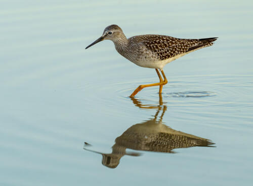 Lesser Yellow Legs 9 8 7.5 24.5 HM GPP Andy Langs  Nature Gold
