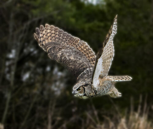 Great Horned Owl 7 7 6.5 20.5 Gary Love  Nature Master